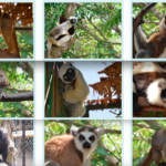 Half Day Lots of Lemurs Tour from Nosy Be (Hotel or Cruiseport) – Private Trip | Low Price Guaranteed
